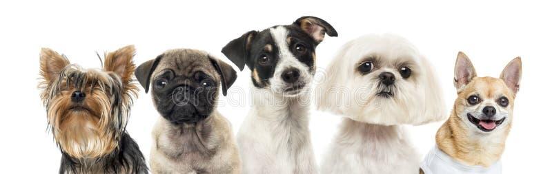 Close-up dos cães em seguido, isolado imagem de stock