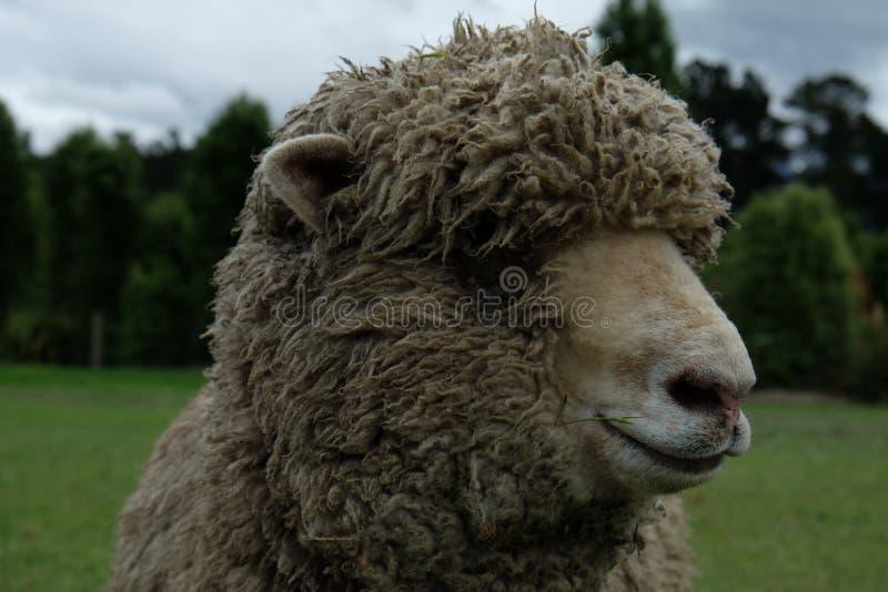 Close up dos carneiros em Nova Zelândia fotos de stock royalty free