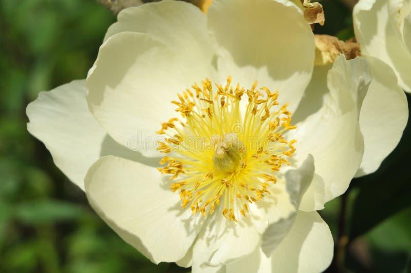 Close-up dos estames e do pistilo de uma peônia da florescência branca fotos de stock royalty free