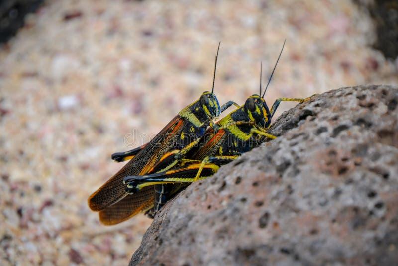 Close up dos locustídeo amarelos e pretos que acoplam-se em uma rocha com o fundo borrado fotos de stock
