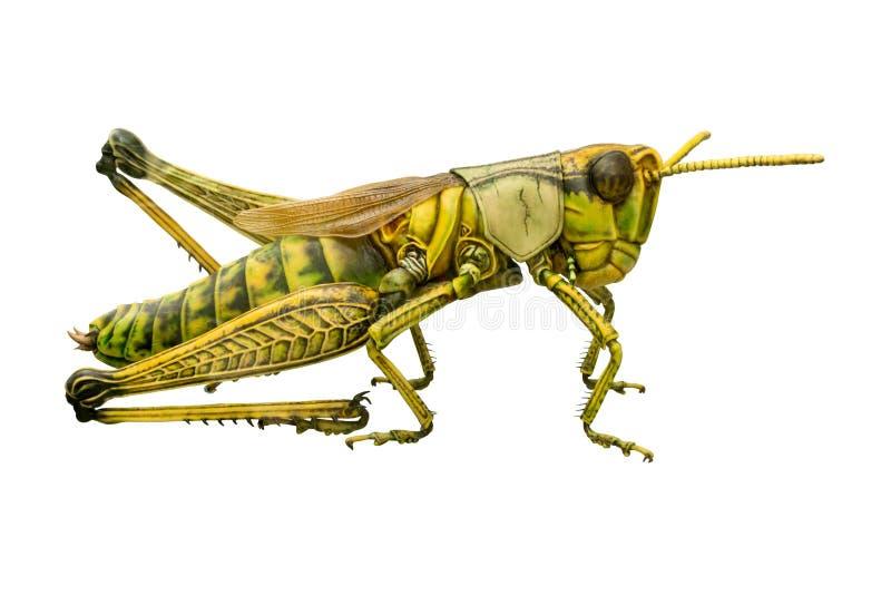 Close-up dos locustídeo - fundo da transparência fotografia de stock royalty free