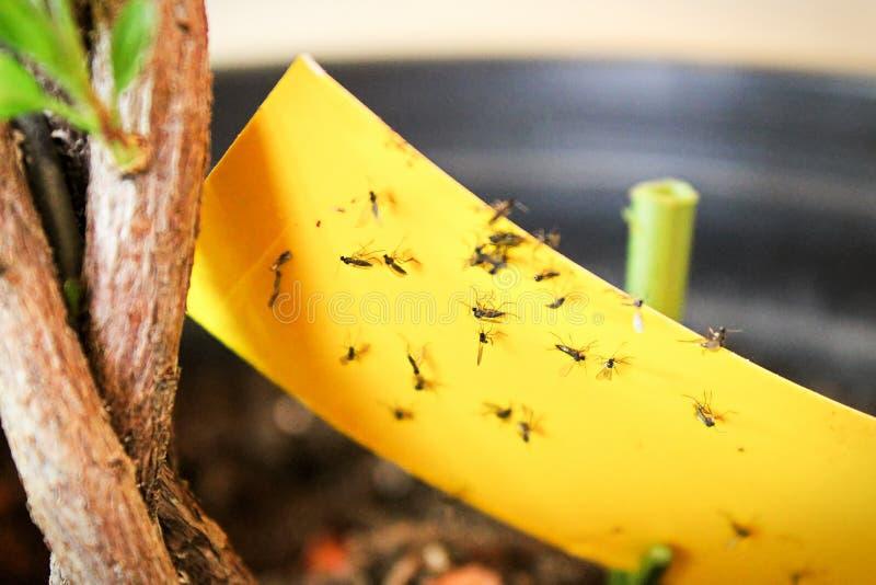 Close up dos mosquitos de fungo que estão sendo colados para amarelar a fita pegajosa foto de stock royalty free