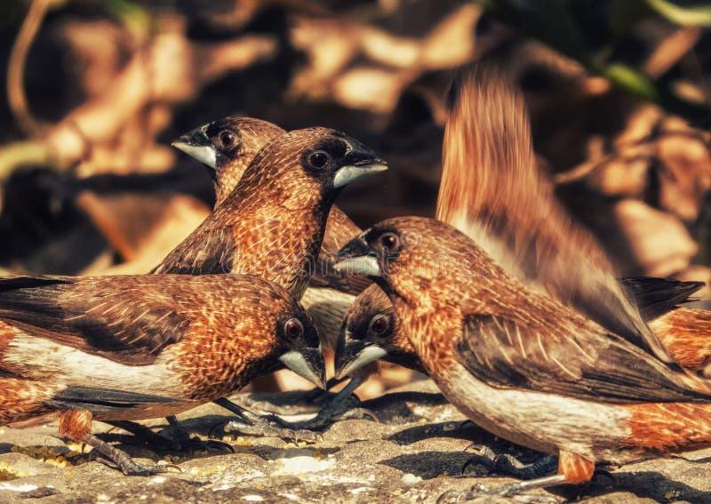 Close up dos pássaros do pardal imagem de stock royalty free