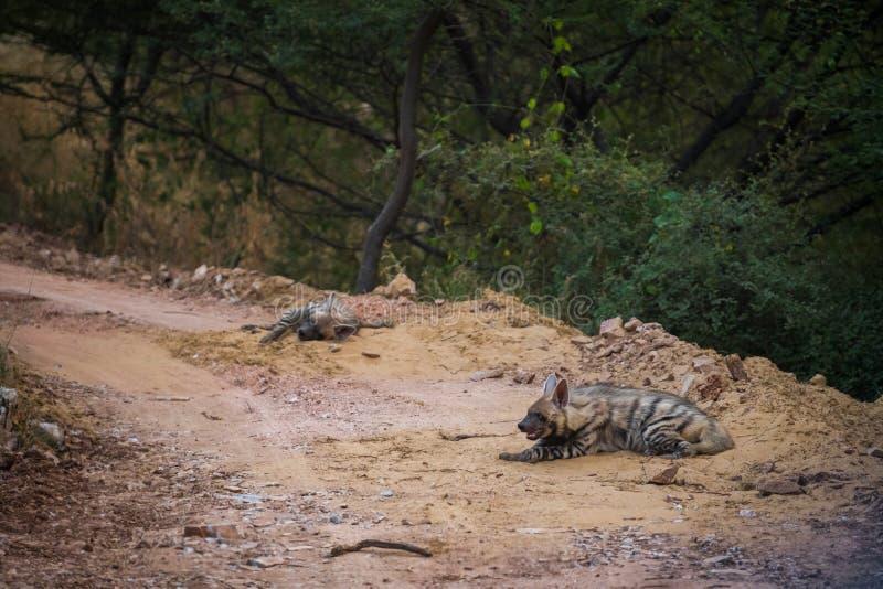 Close up dos pares do hyaena de Hyaena da hiena listrada que descansa em um lugar e em uma máscara frescos com fundo verde imagens de stock