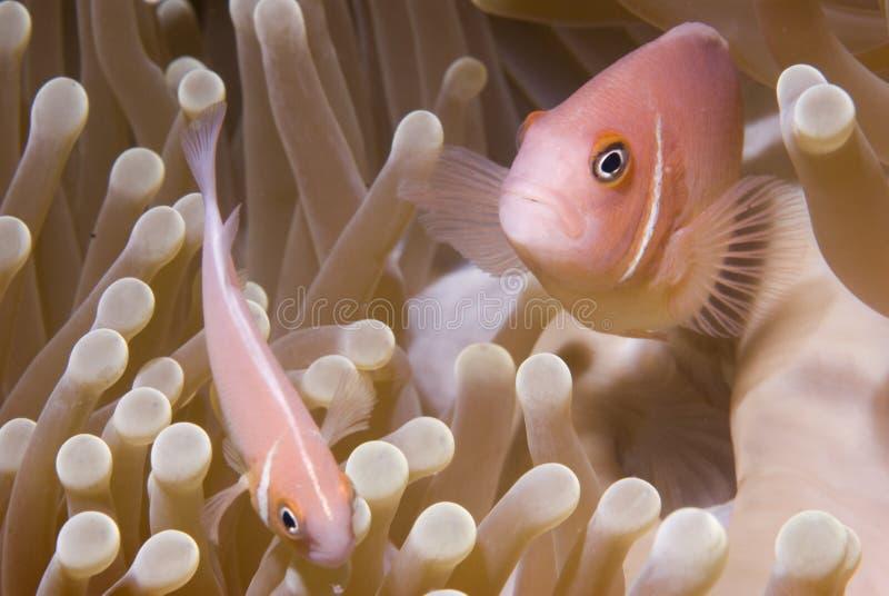 Close-Up dos peixes do palhaço no Anemone fotografia de stock royalty free
