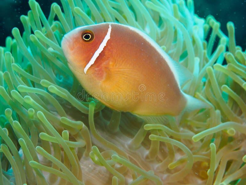 Close-Up dos peixes do palhaço no Anemone foto de stock
