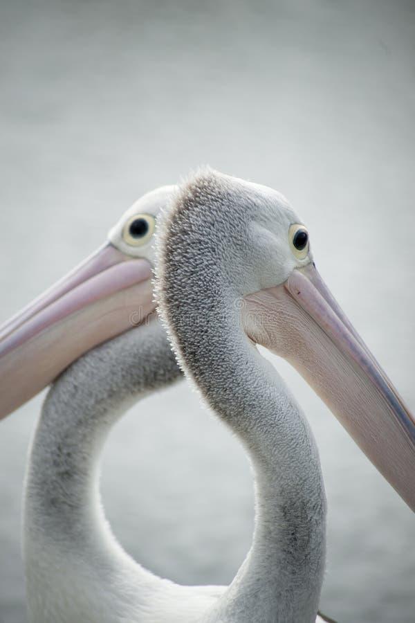 Close up dos pelicanos. imagens de stock royalty free