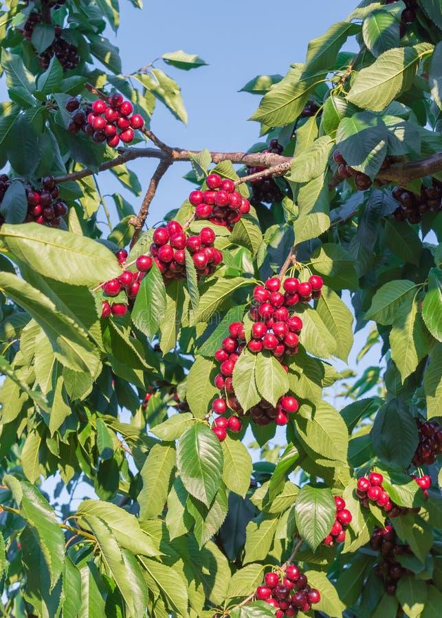 Close-up dos ramos de árvore da cereja cobertos nos grupos de cerejas vermelhas maduras com o céu azul no fundo foto de stock