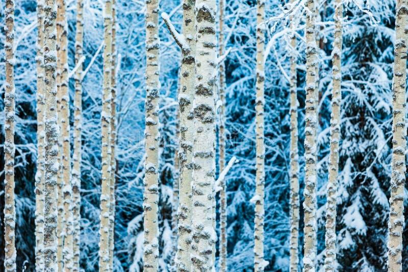 Close-up dos troncos nevados brancos do vidoeiro na floresta do inverno imagens de stock royalty free