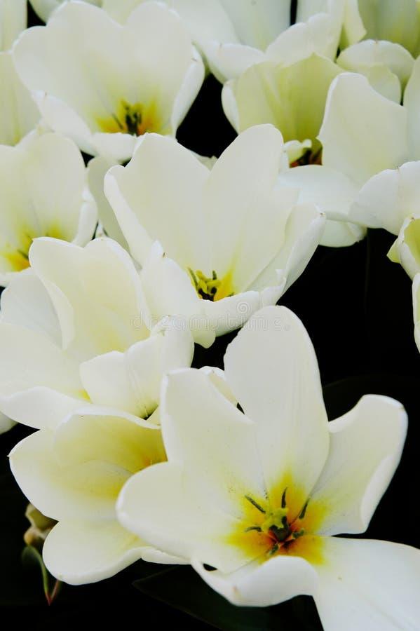 Close-up dos tulips brancos e amarelos fotografia de stock