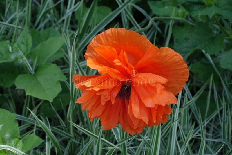 Closeup of double orange flower of oriental poppy. Close up of double orange flower of oriental poppy stock photography