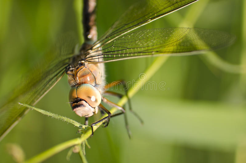 Download Close up of a dragonfly stock image. Image of insect - 19710099