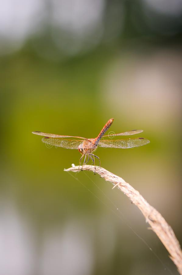 Close up of dragonfly. Vagrant darter. royalty free stock photos