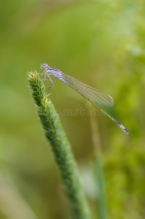 Close up of dragonfly. Blue-tailed damselfly, Czech republic. stock images