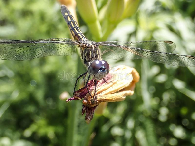 Close up of Dragonfly stock photography