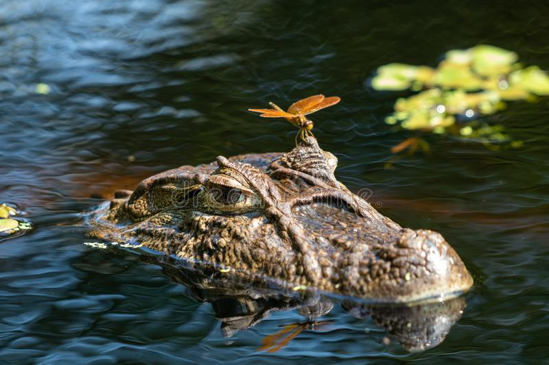 Close up of dragonfly on the head of an aligátor  Caiman latirostris Yacare Caiman, Caiman Crocodilus Yacare Jacare, in the rive stock photos