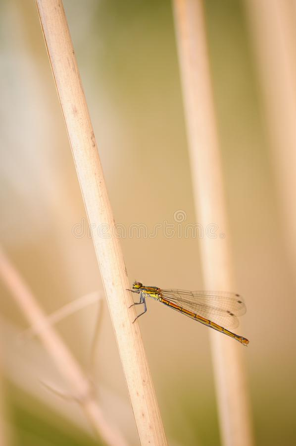 Close up of dragonfly. Large Red Damselfly, Czech republic. stock image