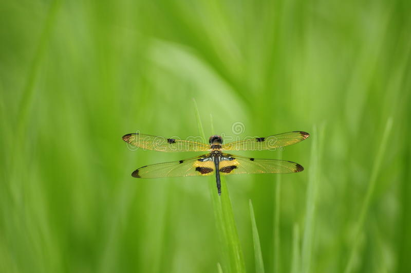 Close up dragonfly ( Rhyothemis phyllis) royalty free stock photos