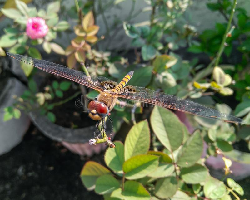 Close-up of dragonfly sitting in the branch of green leaves plant growing in the garden, insect wings and eyes photography, macro. Legs, hairy, tail, pattern royalty free stock image