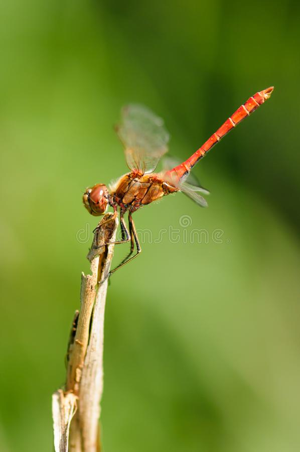 Close up of dragonfly. Vagrant darter. stock image