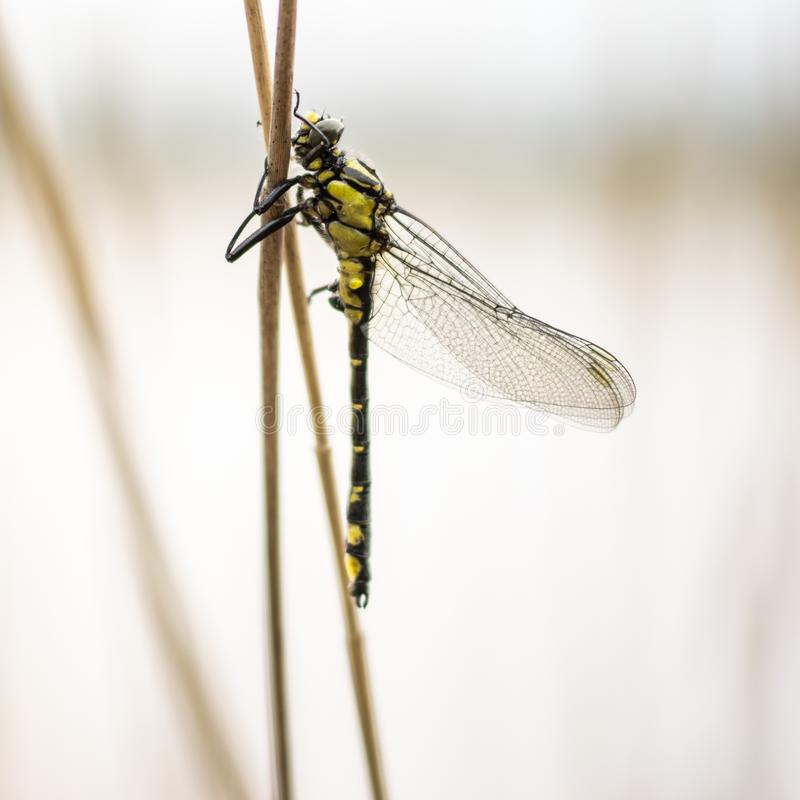 Close up Dragonfly with wings sitting on the stick stock photo