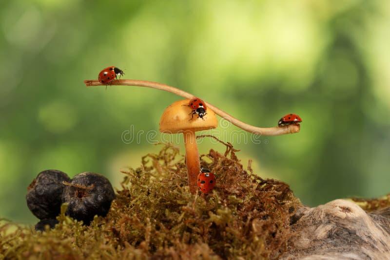 Close-up drie lieveheersbeestjes die op de tak op de paddestoel en één lieveheersbeestje slingeren die op paddestoel kruipen Groe stock foto