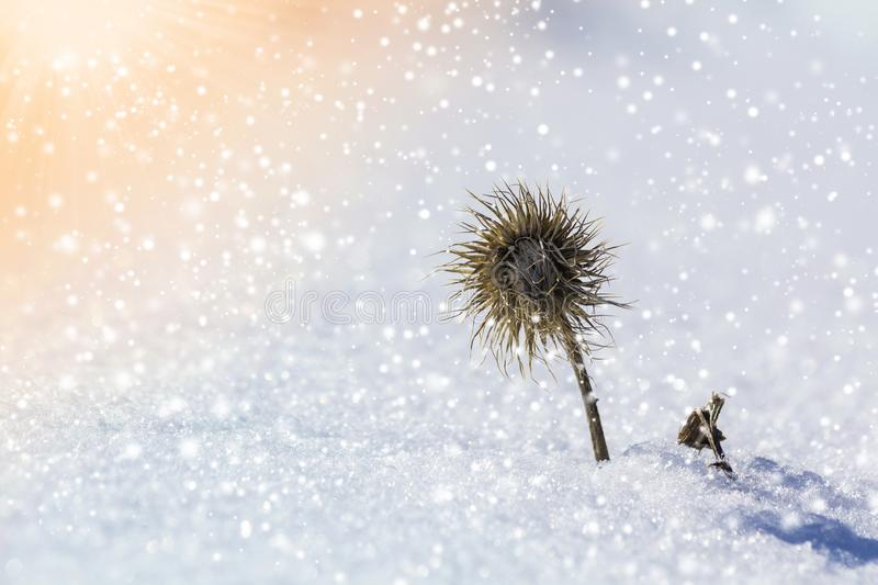 Close-up of dried black withered strange barbed herb plant weed covered with snow and frost in winter cold empty field on bright royalty free stock photography
