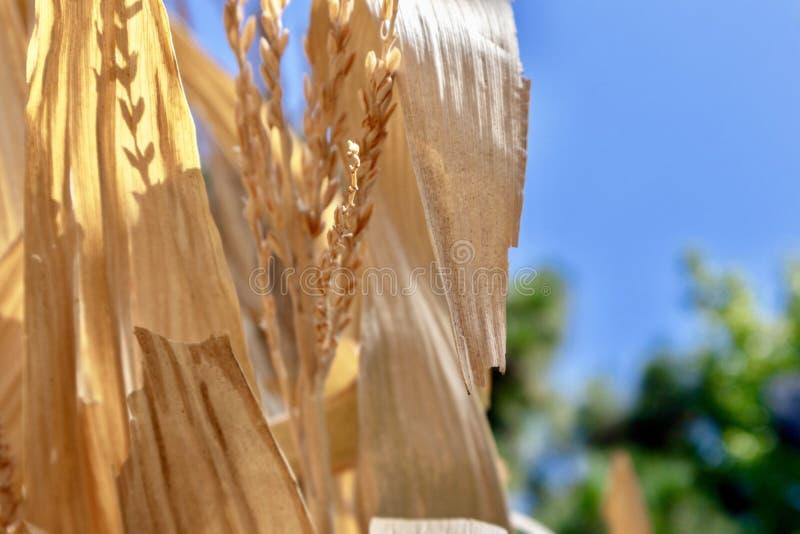 Dried Corn Stalks against blue sky stock photos