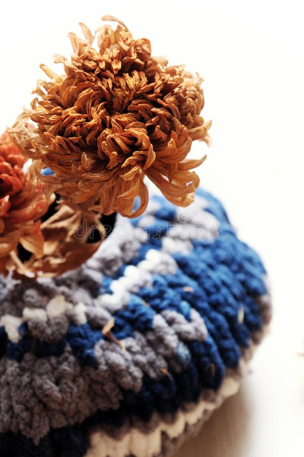 Close up dried daisy flower in woolen blue jar on white background stock images