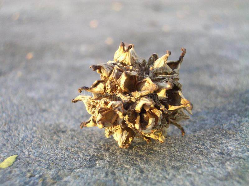 Close Up of Dried Flower Husk on Concrete royalty free stock photo
