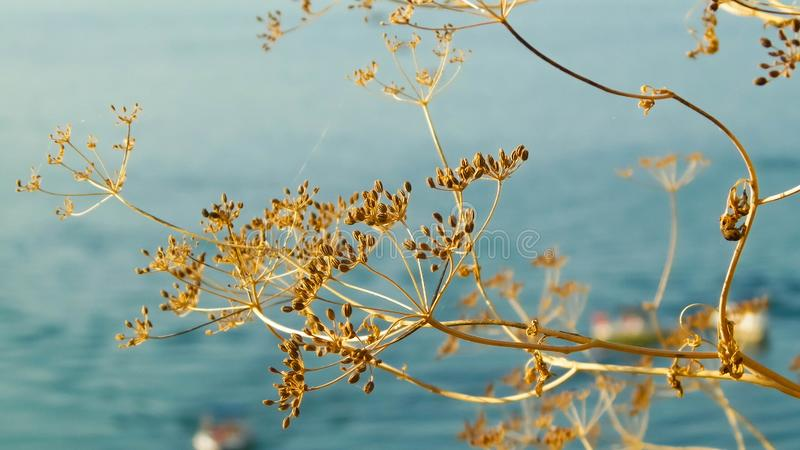Close up of dried plant and beautiful water of Ohrid Lake, Macedonia. Balkan nature and travel concept royalty free stock images