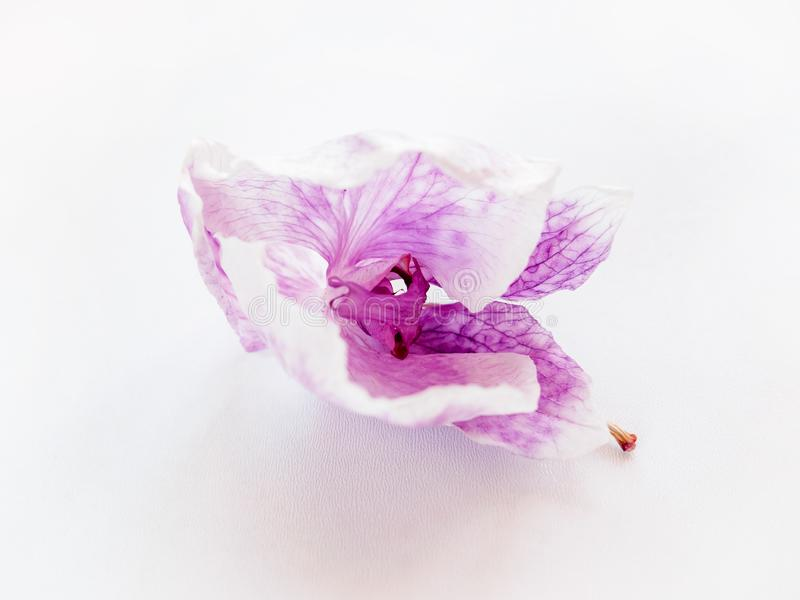 Close up of dried purple flower orchid on white background, selective focus stock image