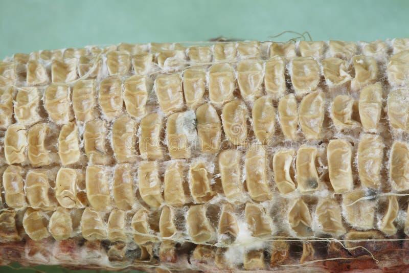 Download Close Up On Dried Shrunken Corn Kernels Stock Photo - Image: 7588748