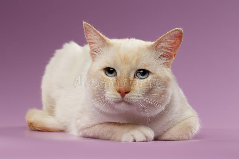 Close-up droevig Ginger Cat met blauwe ogen op Purple stock foto's