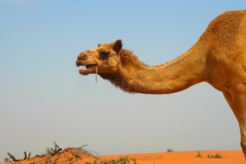 Close up of dromedary neck and head eating grass with red orange sand dune. Oman desert: Close up of dromedary neck and head eating grass with red orange sand stock photography