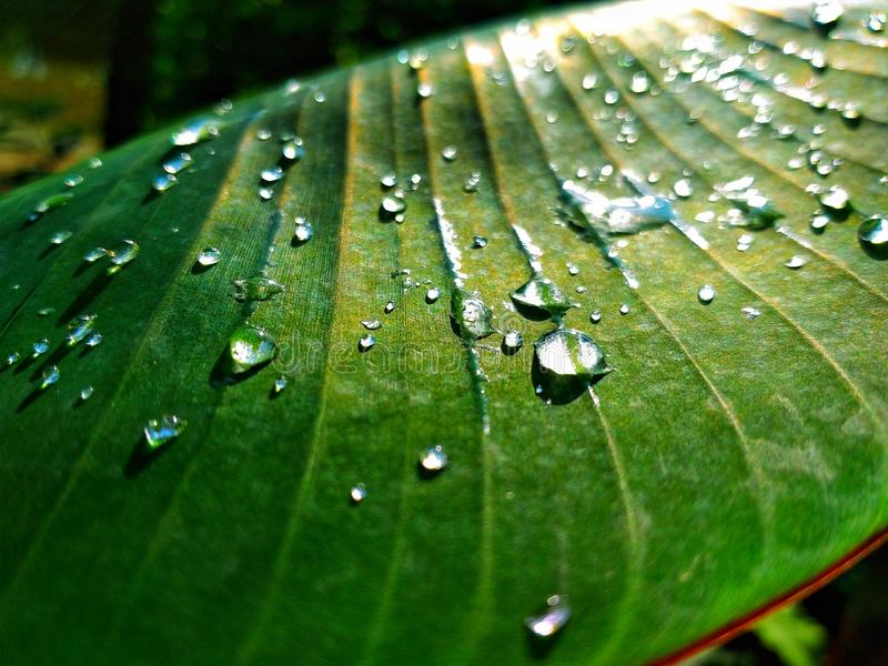 Close up drop of water still on green leaf after rainy morning. A sun is shining in the background. Tropical botanical. royalty free stock image