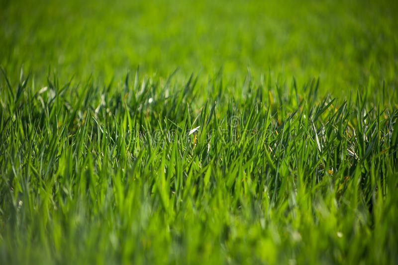 Close-up drops of dew on young fresh green grass royalty free stock photography