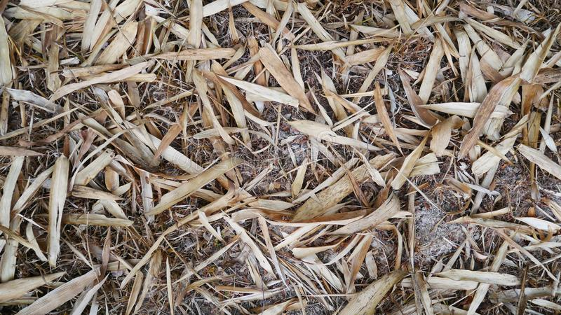 Dry leaf bamboo texture. royalty free stock photo