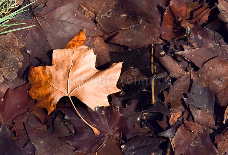 close up of a dry maple brown leaf on the ground in a scene of a fall day. The leaf is on other dark brown leaves because they are royalty free stock image