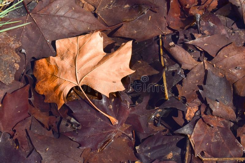 close up of a dry maple brown leaf on the ground in a scene of a fall day. The leaf is on other dark brown leaves because they are royalty free stock photography