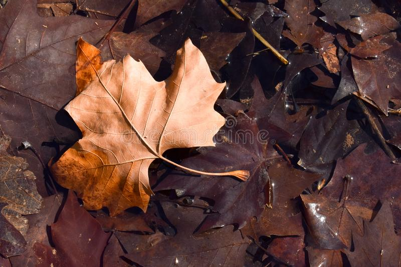close up of a dry maple brown leaf on the ground in a scene of a fall day. The leaf is on other dark brown leaves because they are stock photography