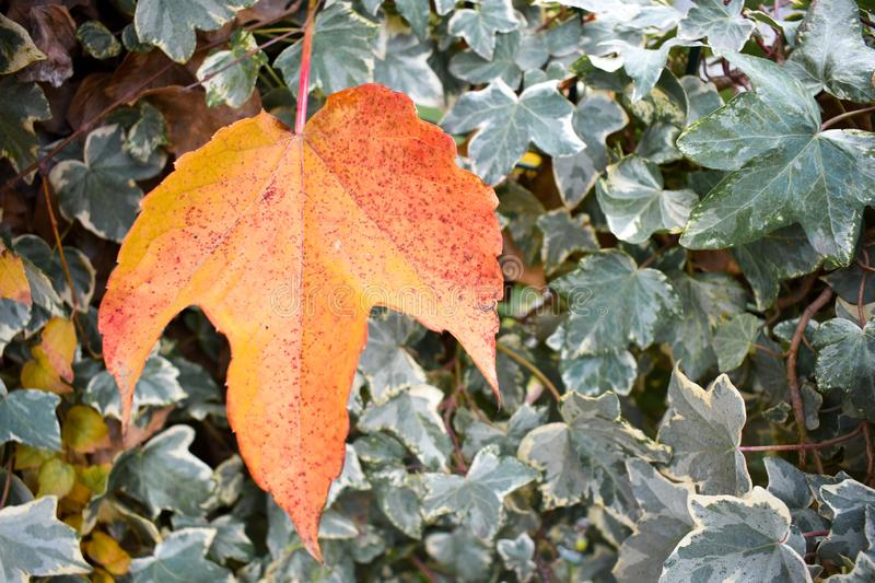 close up of a dry maple orange leaf in front of green leaves of an ivy in a scene of a fall day. The leaf has fallen on other stock images