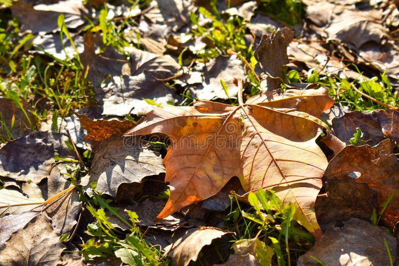 close up of a dry maple orange leaf on the green grass in a scene of a fall day. The leaf has fallen on other dry leaves and the royalty free stock photos