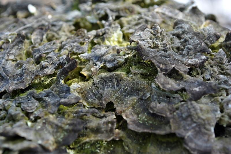 Close-up dry rotten mushrooms with fluted wavy brown, gray, green head texture on old tree stump bark, wavy background texture. Top view stock photos