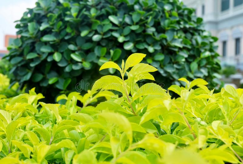 Close Up of Duranta Erecta or Golden Dewdrop Plants royalty free stock image