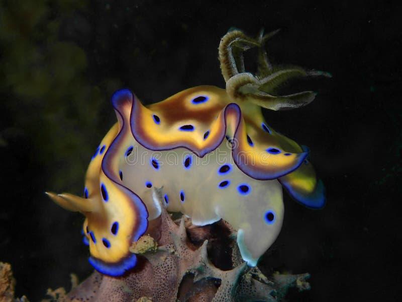 Close up e tiro macro do kuniei de Goniobranchus do nudibranch durante um mergulho do lazer em Tunku Abdul Rahman Park, Kota Kina fotografia de stock royalty free