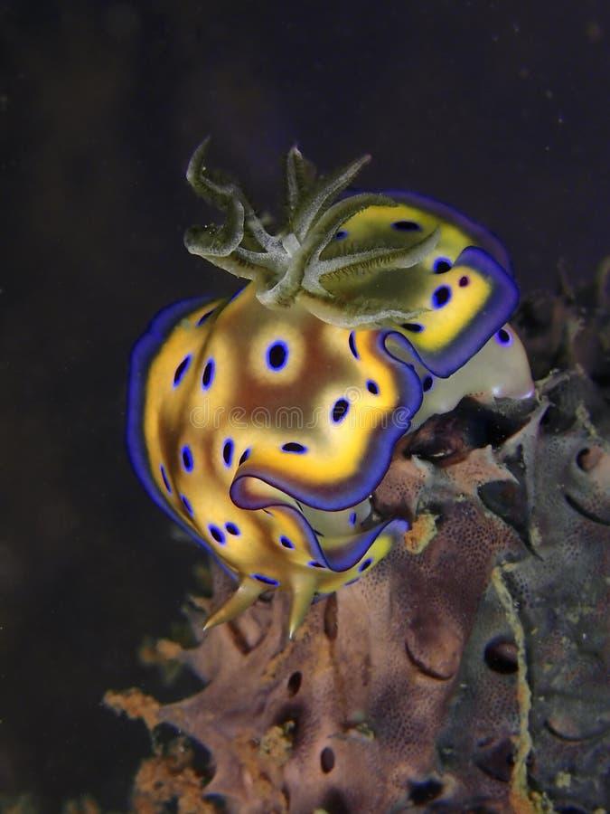 Close up e tiro macro do kuniei de Goniobranchus do nudibranch durante um mergulho do lazer em Tunku Abdul Rahman Park, Kota Kina fotografia de stock