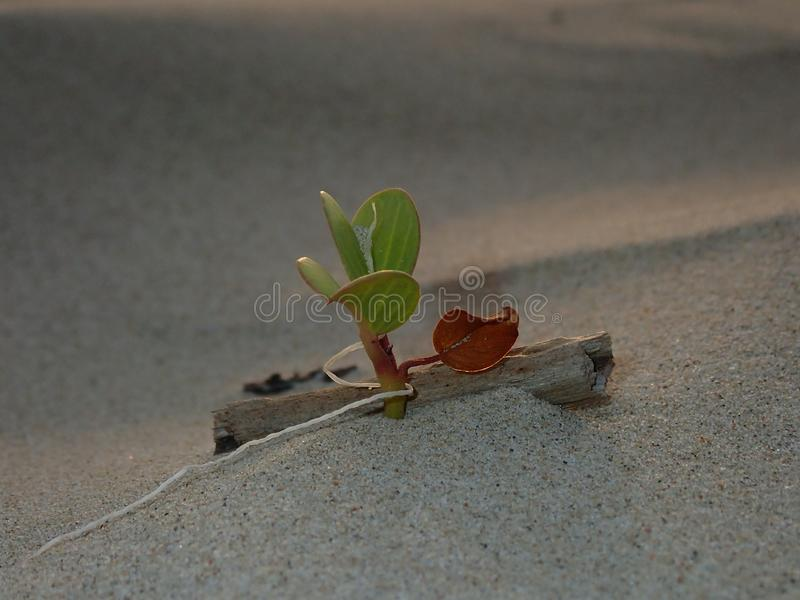 Close up e tiro macro na folha min?scula da flor da corriola que cresce na costa de mar fotos de stock