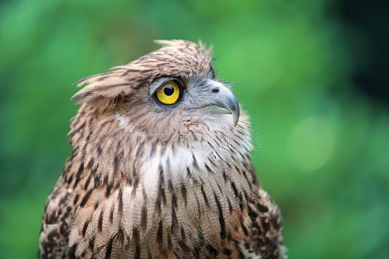 Close up eagle owl in nature royalty free stock photos