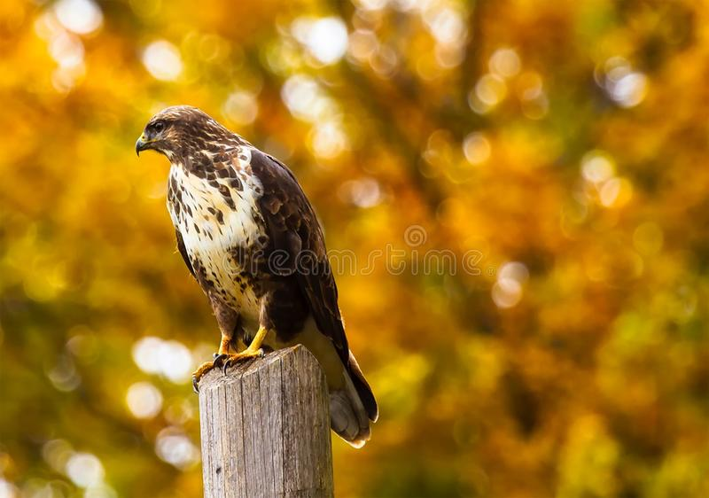 Close-up of Eagle Perching on Outdoors royalty free stock photo